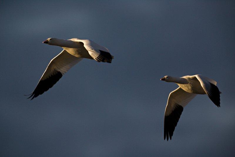 Snow-Geese-Pair-II-RTP.jpg