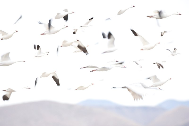 Snow geese in fly.