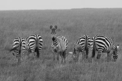 Common Zebra  (Equus burchelli), Ngorongoro Crater.