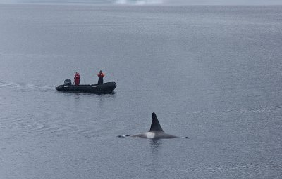 Male Orca checking the visitors!