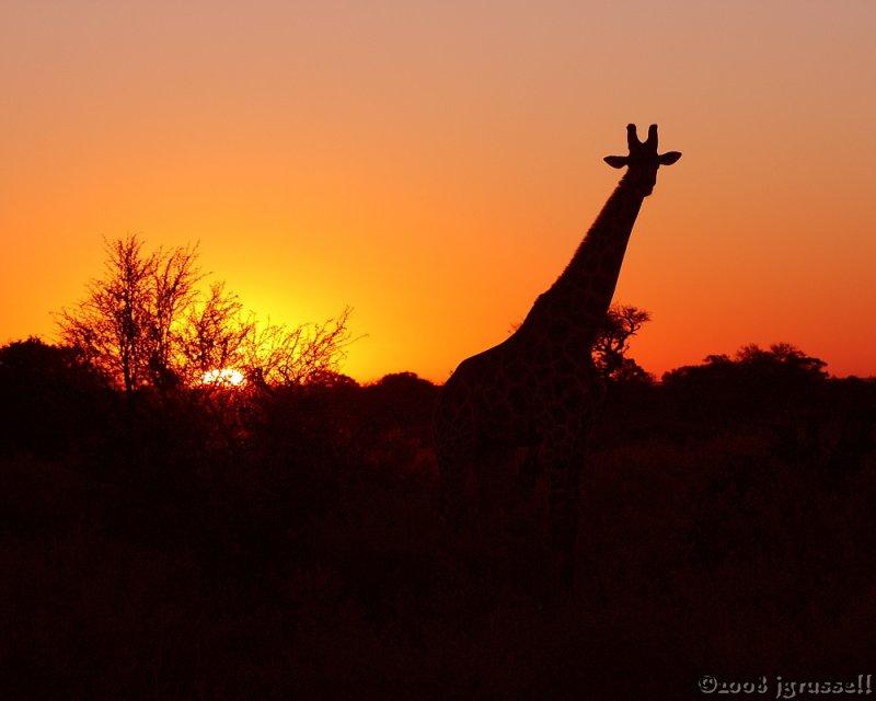 Giraffe in setting sun
