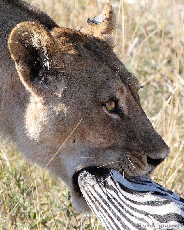 Lioness suffocating zebra 2