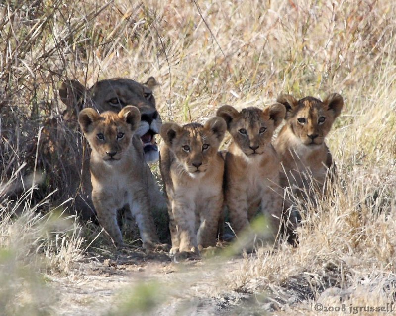 Lioness sits waiting with cubs