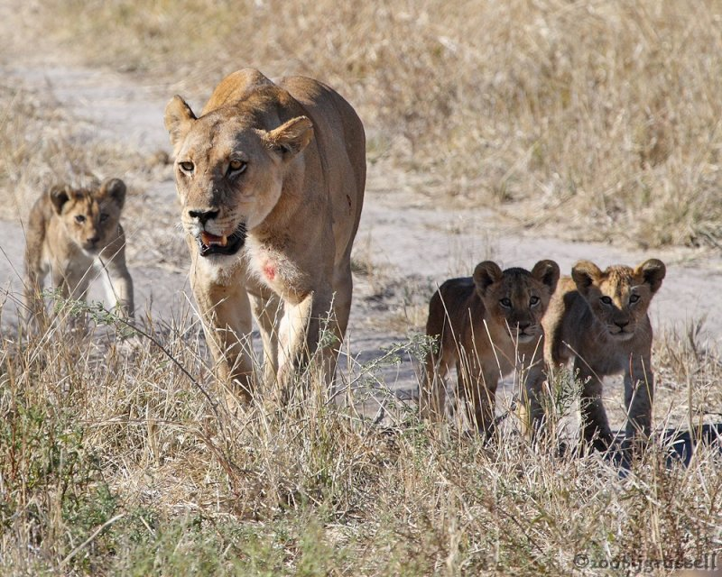 Lioness brings cubs towards kill