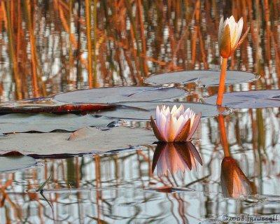 Lilypad in Okavango Delta