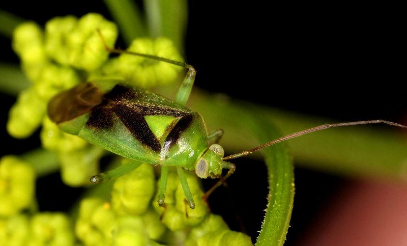 Neolygus-viridis.jpg