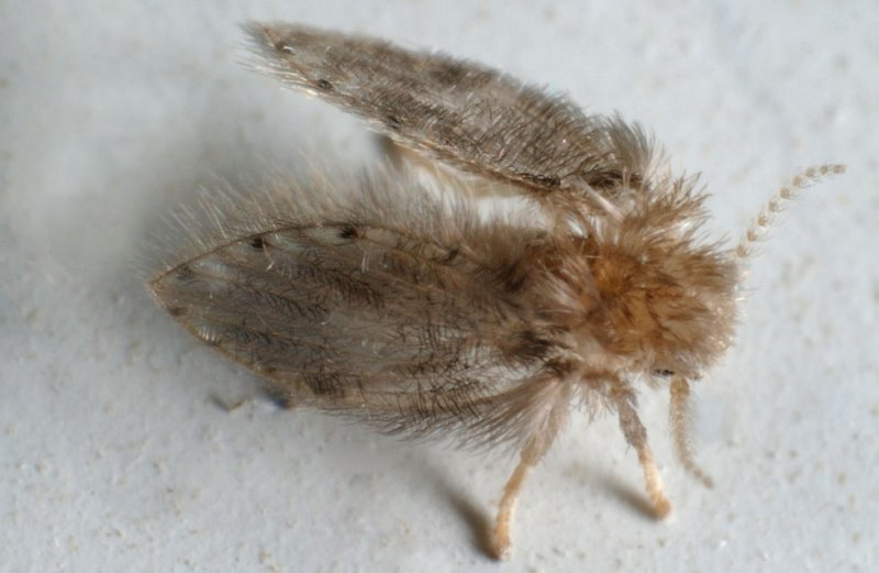 Psychodidae.jpg