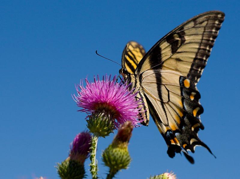 Yellow Swallowtail 7410