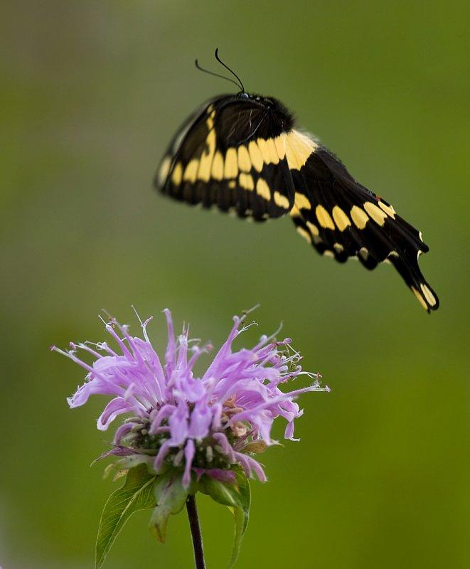 Black Swallowtail 7699