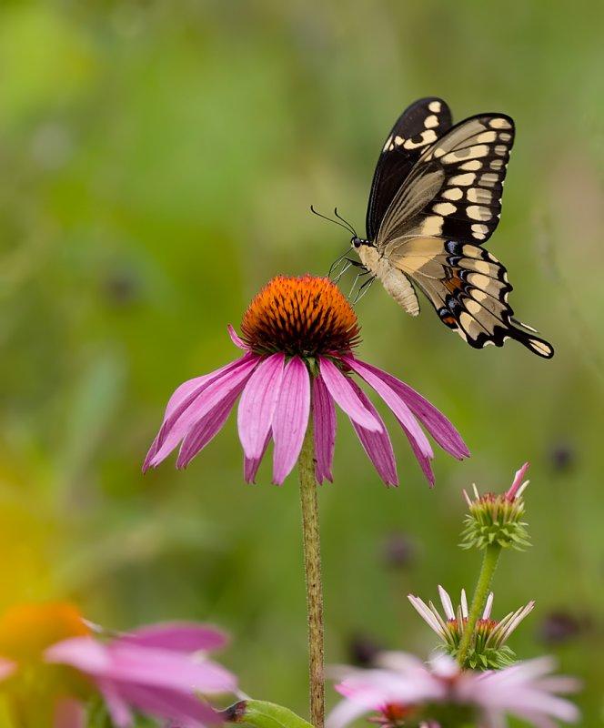 Black Swallowtail 7810