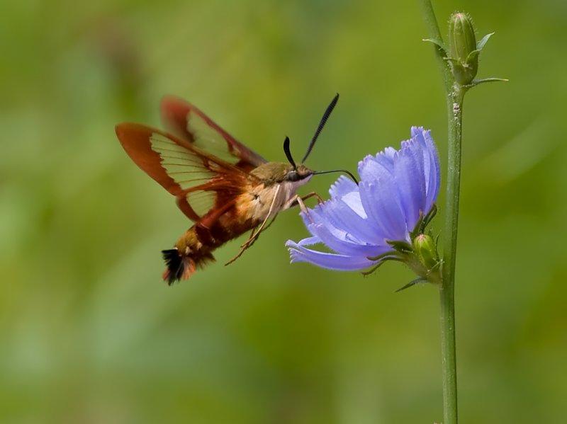 Hummingbird Moth 8023