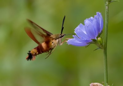 Hummingbird Moth 8028