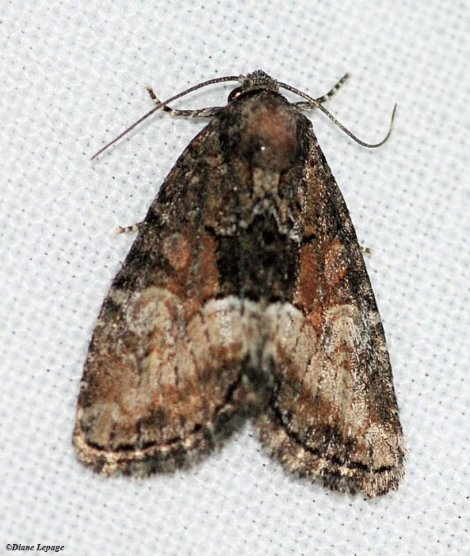 Cutworm moth (<em>Neoligia subjuncta</em>), #9412