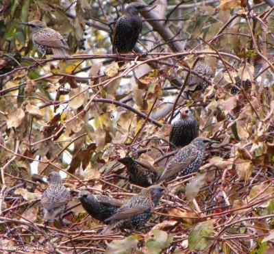 Starlings feeding on crabapples