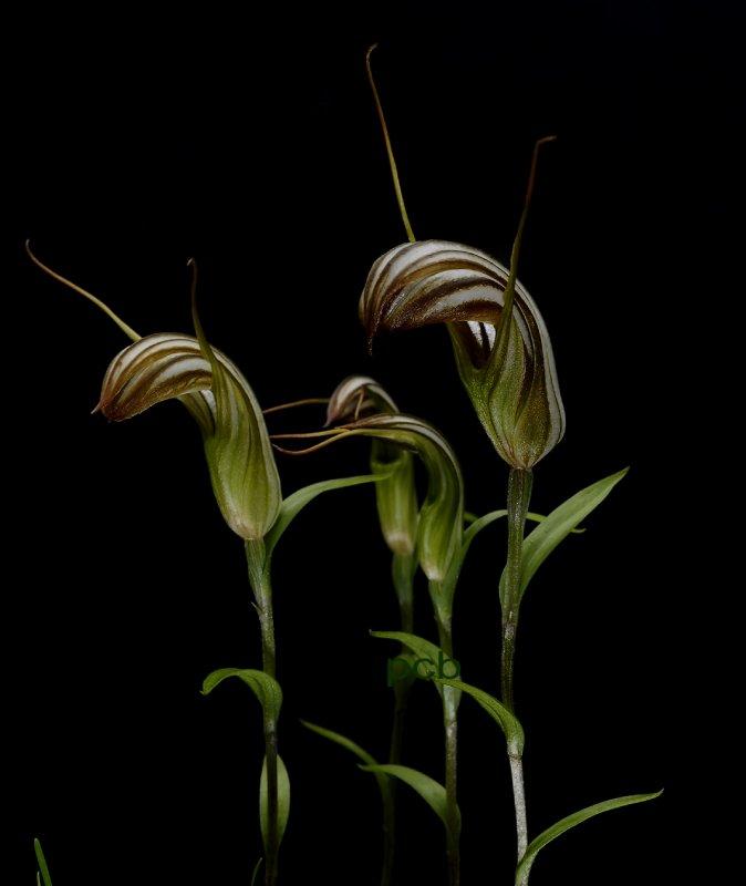 Pterostylis truncata