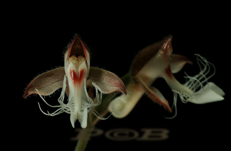 Anoectochilus roxburgkii