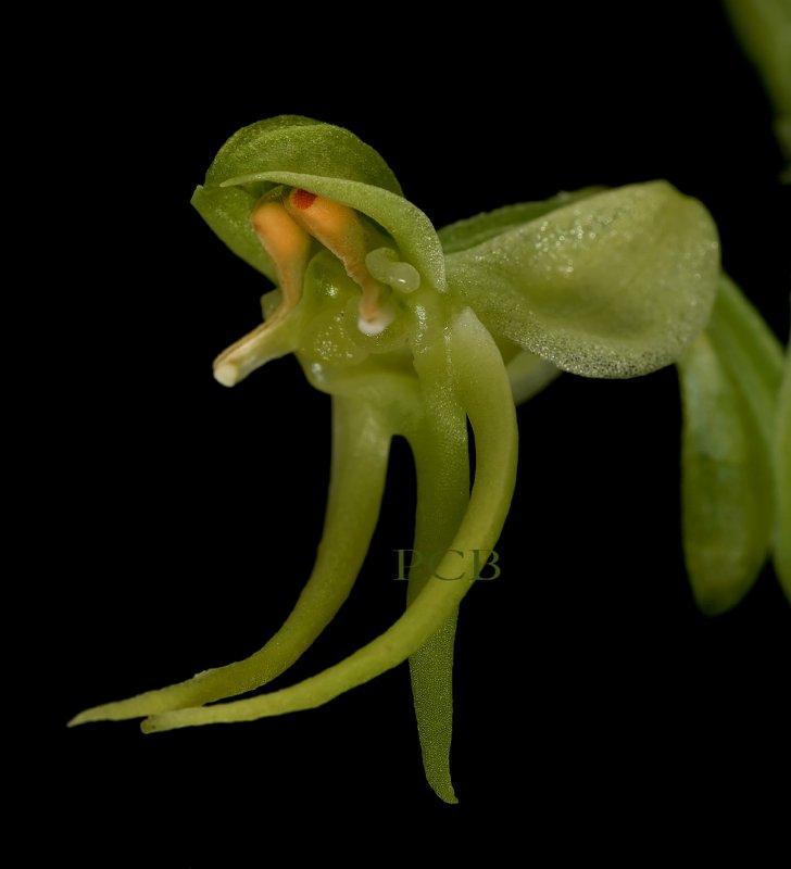 Habenaria malleifera, close, flower 1.5 cm