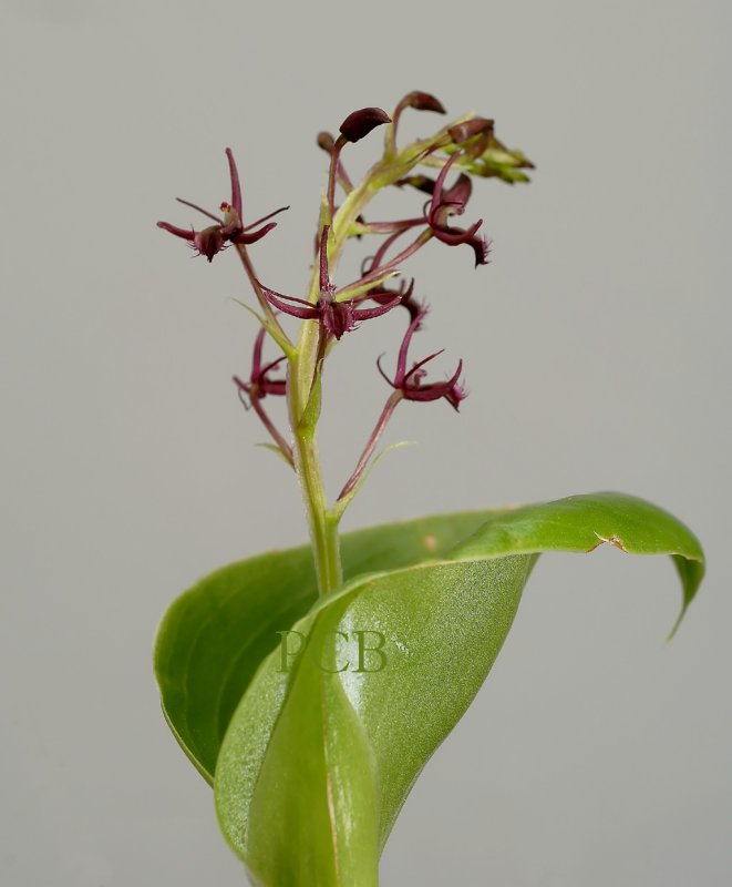 Liparis pilifera, flowers 1 cm