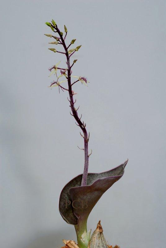 Liparis purpureoviridis,  flowers 1.5  cm