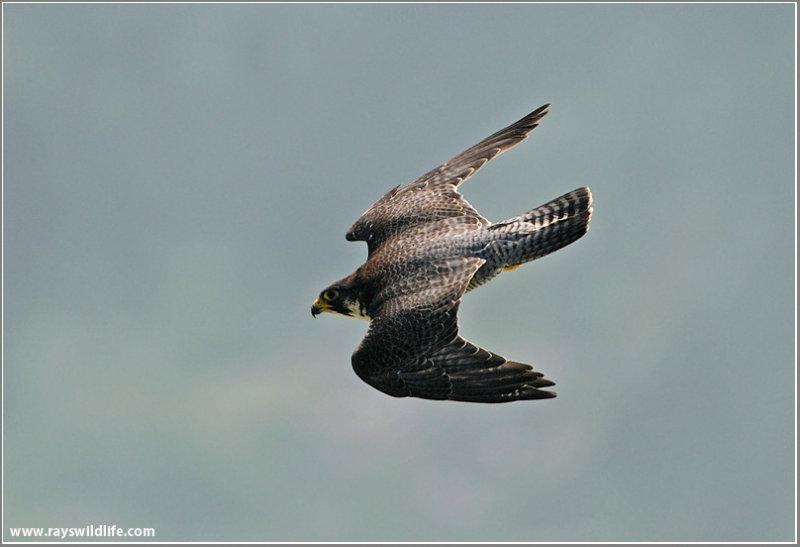 Peregrine Falcon In A Dive 35 Photo Raymond J Barlow Photos At Pbase Com