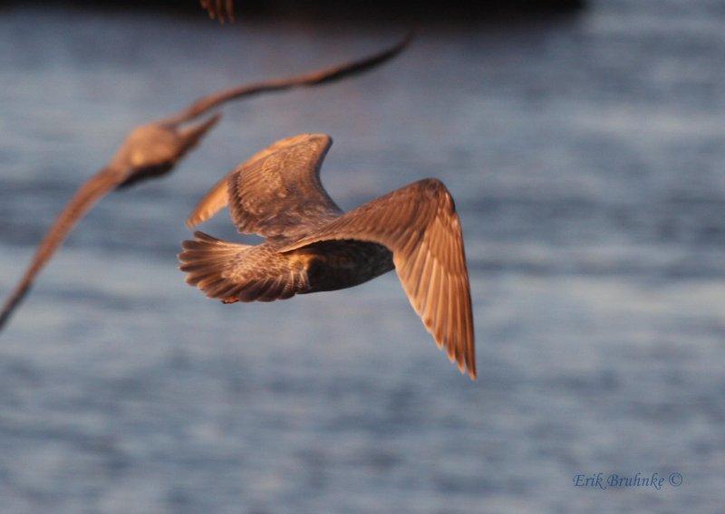 Nelsons Gull