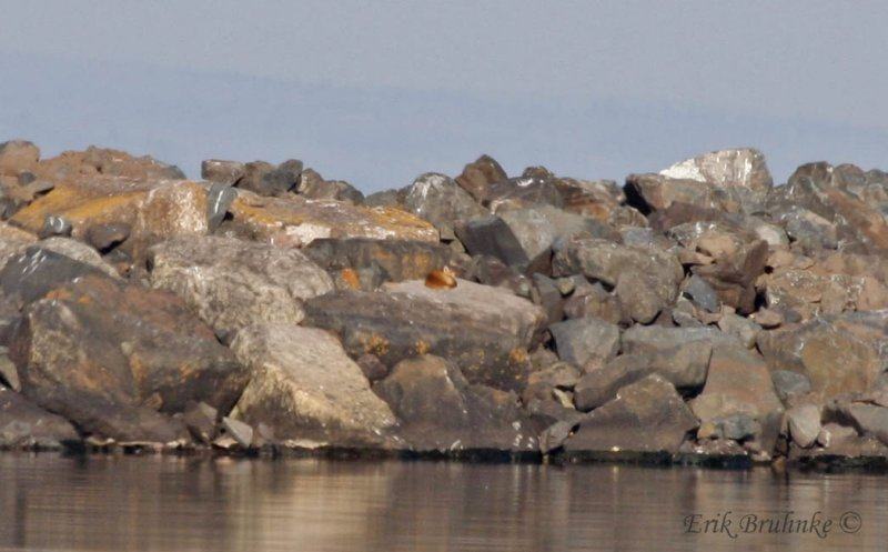 Fox sleeping on the breakwater