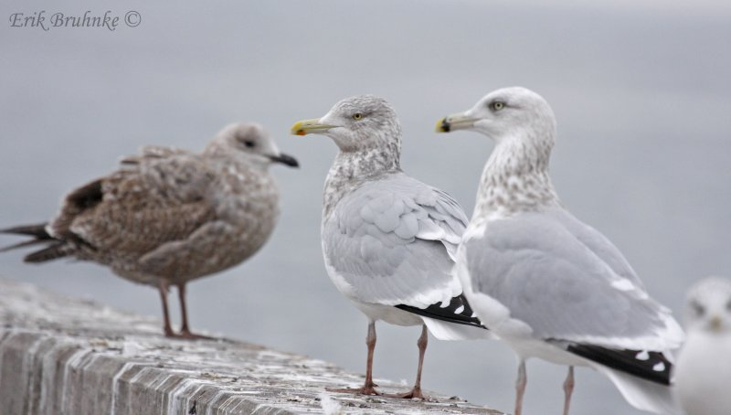 From left to right... Juvenile Herring Gull, Adult Herring Gull, 3rd cycle Herring Gull, Ring-billed Gull