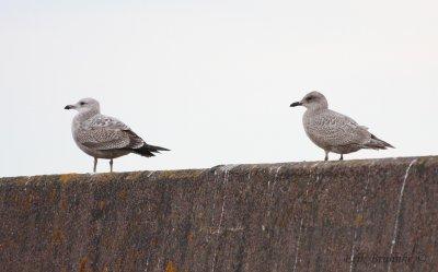 1st-winter Herring Gull (left) and Thayers Gull Juvenile (right)