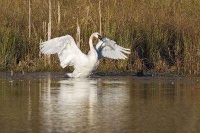 trumpeter swan 100806IMG_1479