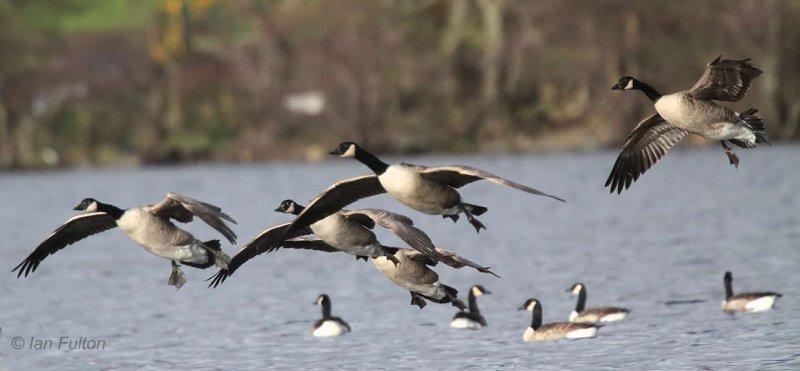 Canada Geese, Balmaha Bay-Loch Lomond, Clyde