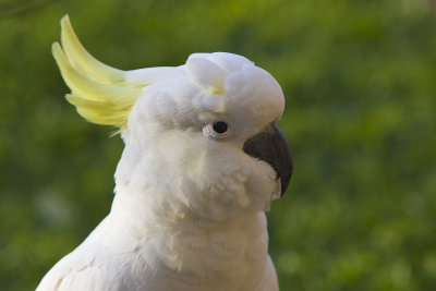 This next one is a Cacatua 'fitzroyi' female.