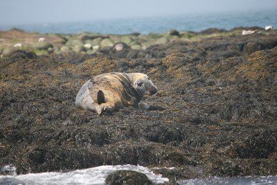 Machias Seal Island was not named Machias Seal Island for nothing!  Heres an inhabitant, seen from the boat going back.