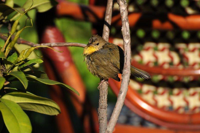 Common Yellowthroat Warbler - Geothlypis trichas
