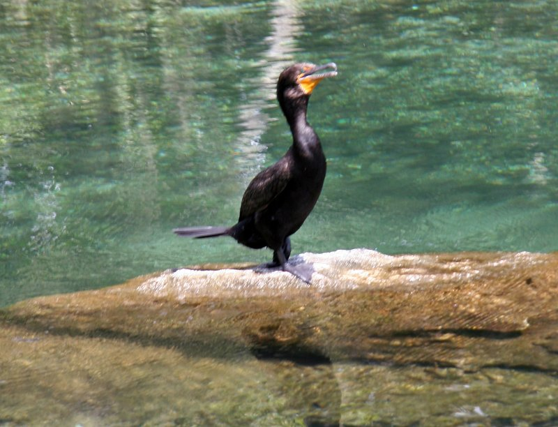 Cormorant - Rainbow River Boat Ride