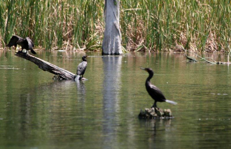 Cormorants - Rainbow River Boat Ride