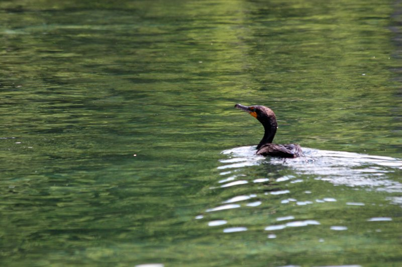 Cormorant - Rainbow River Boat Ride