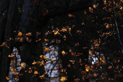 light screen - more beech leaves