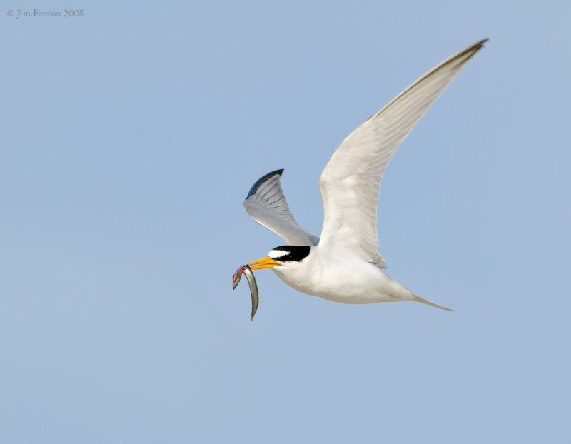 _NW87523 Least Tern With Sand Eeel.jpg