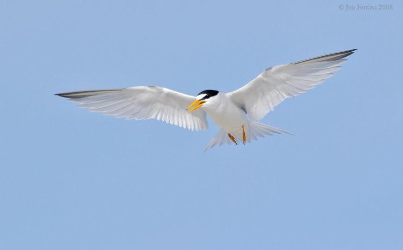 _NW87609 Least Tern.jpg