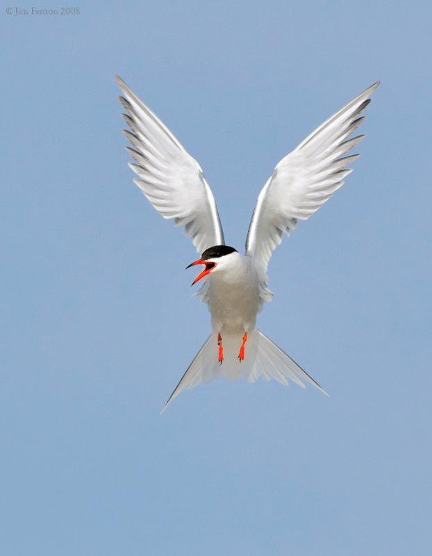_NW87631 Common Tern.jpg