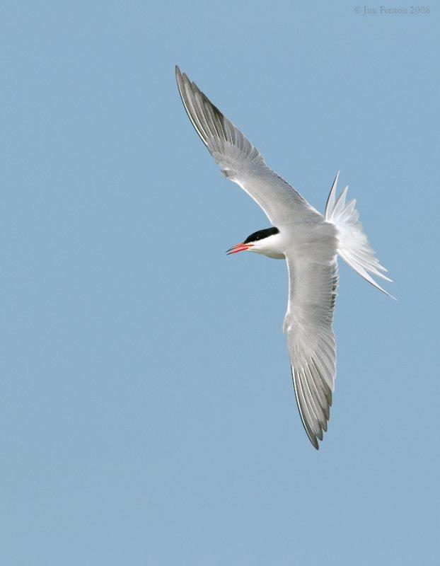 _NW87636 Common Tern.jpg