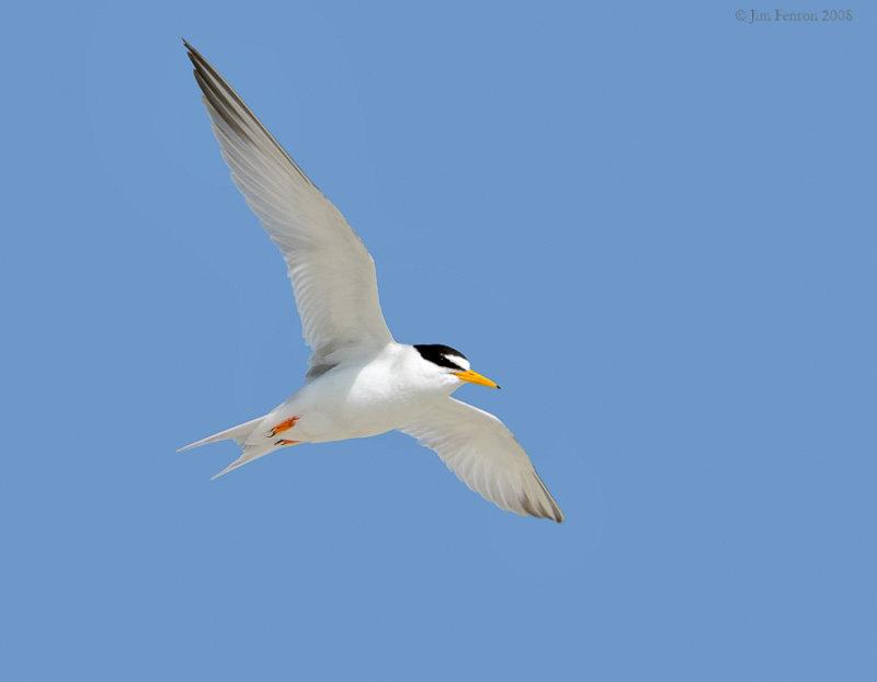 _NW87693 Least Tern.jpg