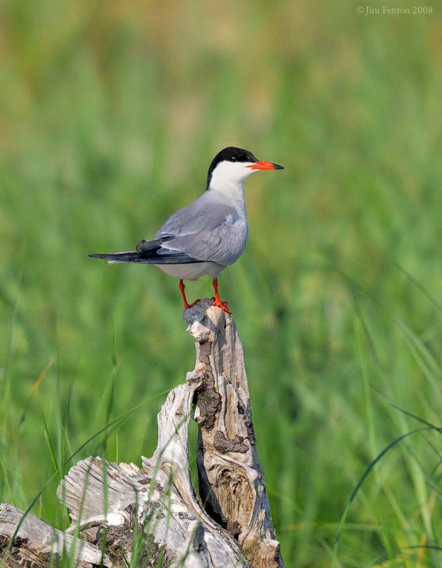 _NW88629 Common Tern on Log.jpg