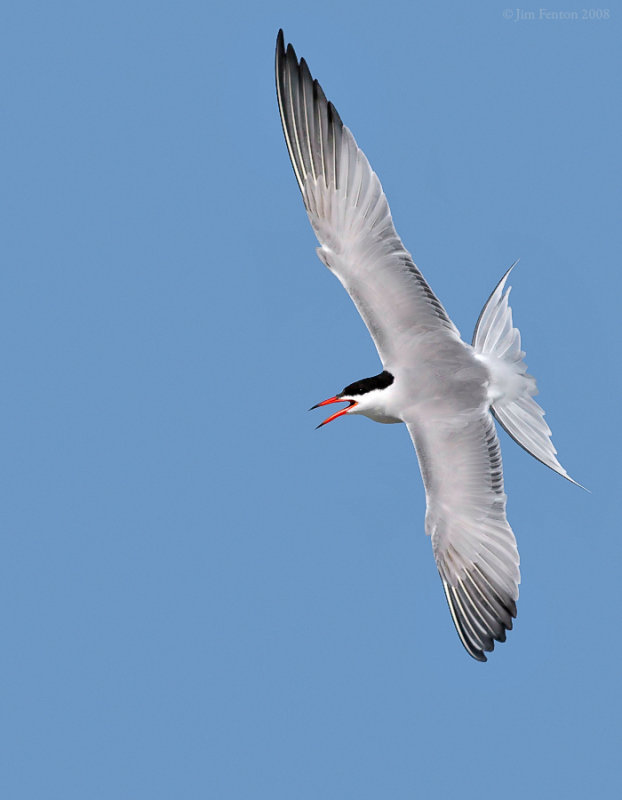 _NW88683 Common Tern in Flight.jpg