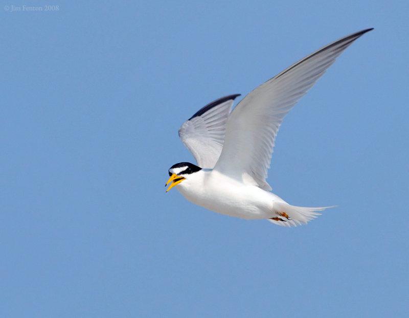 _NW89272 Least Tern in Flight.jpg