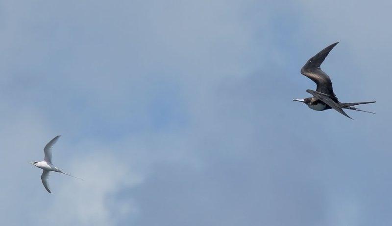 Great Frigatebird, female, chasing White-tailed Tropicbird