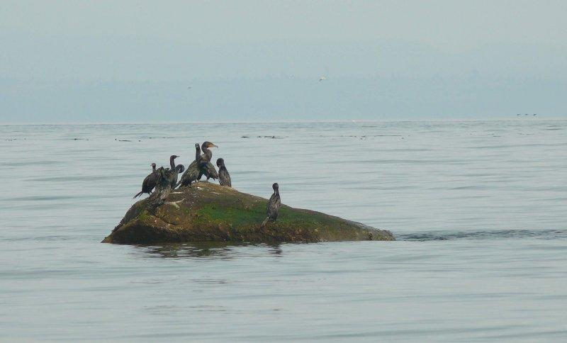 Cormorants Oyster Bay.jpg