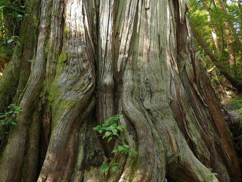 Old cedar Carmanah.jpg