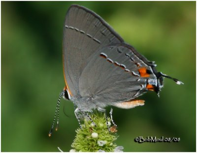 Gray Hairstreak-Male