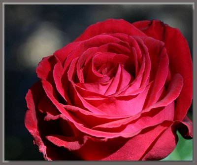 A red, red rose...